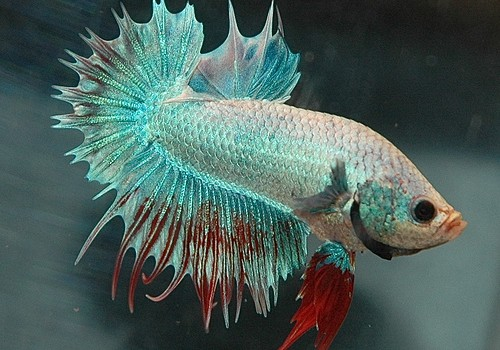 Betta fish, from Flickr user Daneilla Vereeken at https://www.flickr.com/photos/betta-online/1676909610/in/photolist-3ybANE-4d6R1T-3yehyY-a1MgAa-3nRRCe-6VxQ5B-6mghF1-4YcNKS-4Y8odR-8CCTwF-39DbT-kCmuAz-b6WuT-3nRE22-5CZ5Ny-5CUMNV-iiB9aW-iiBgRq-3mWr9T-coH51f-coH4ij-6R7xJj-3oSHLn-4Y7Ckr-4YbB5L-5yBxe8-5yBrbv-5yFJvb-6Fx5T3-enTMF-765w7c-8g7AXg-3nZBsg-BEtJK-4zbUvK-b6Wbc-6XFtDV-6R7wYY-6R3tvH-Ltr5M-dbxHc-3yeoWj-3o7U13-dqbFUD-3oUXM7-6XFtwX-4xh6eC-6XKuPo-6XFtRn-6XKuNC