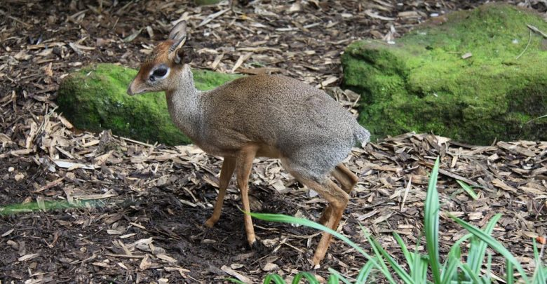 "a picture of a chevotrain, or ""mouse-deer"""