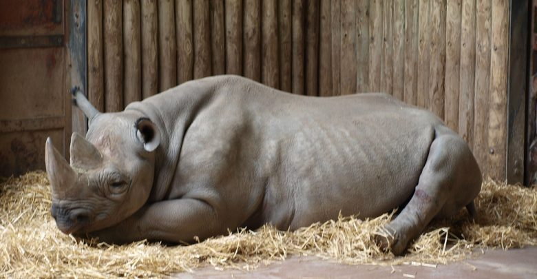 rhinoceros laying down on a bed of hay