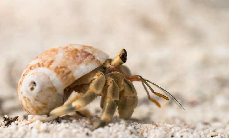 close up of a hermit crab